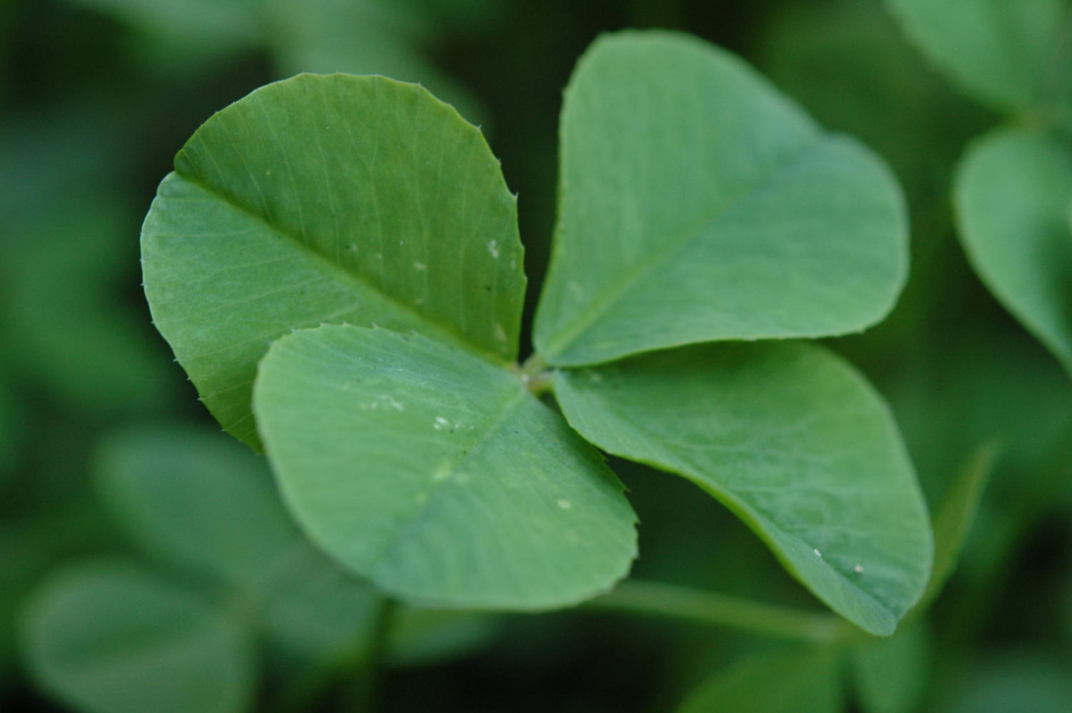 The four-leaf clover is a rare charm that most people associate with St. Patrick's Day, but underneath the popularity is a rich and complicated history.